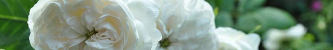 BIO-Blüten für Ihre Küche